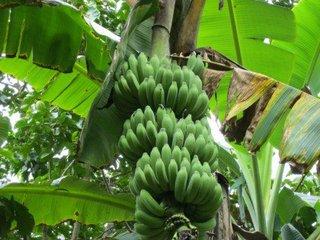 banana thai2.jpg