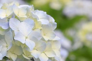 ing azisai flower.JPG